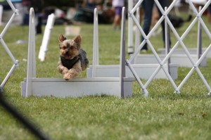 Agility mit Yorkshire Terrier