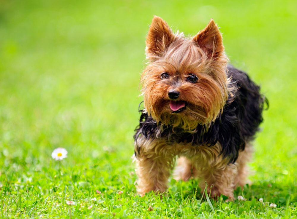 Hunderassen Yorkshire Terrier