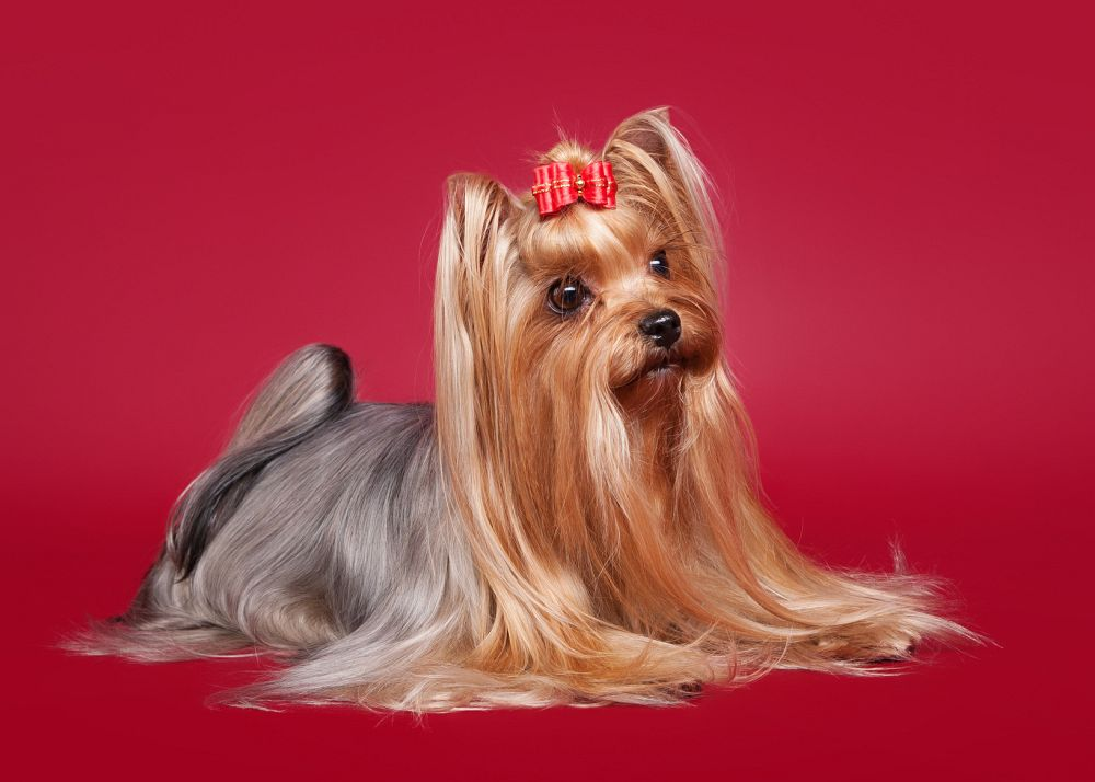 Reinrassige Yorkshire Terrier Hunde