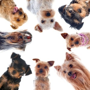 Seriöser Yorkshire Terriers Züchter