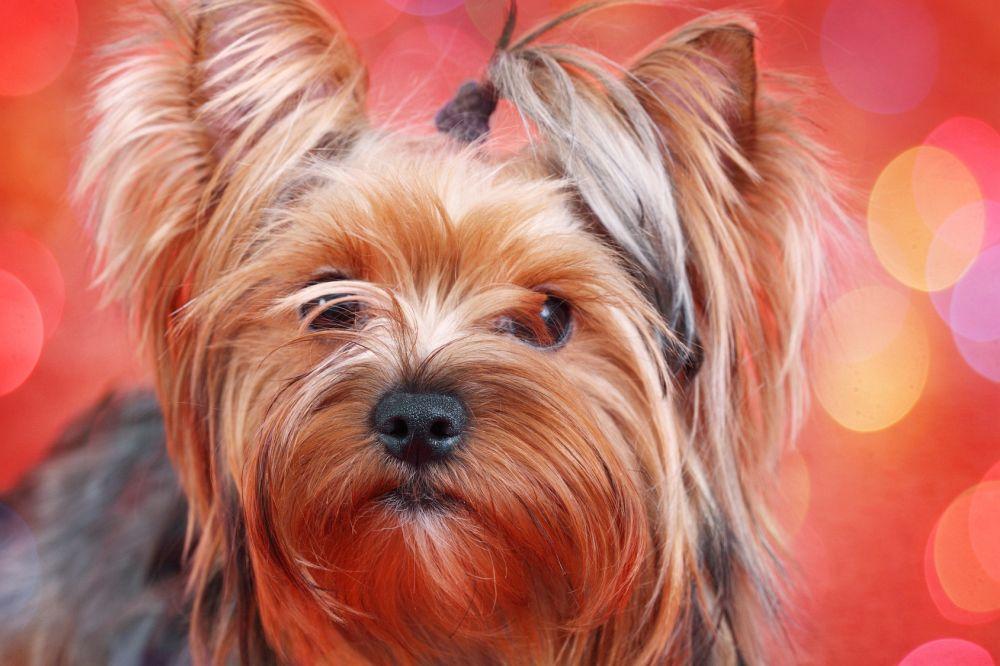 Rassetypische Krankheiten Yorkshire Terrier