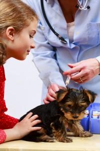 Yorkhire Terrier Impfung Welpenalter