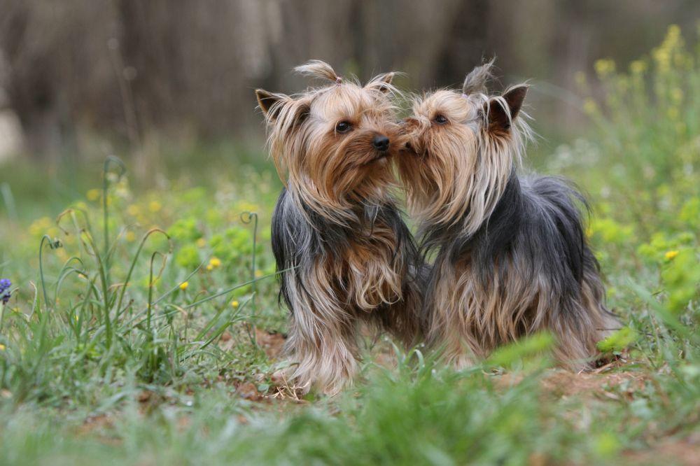 Yorkshire Terrier Verpaarung