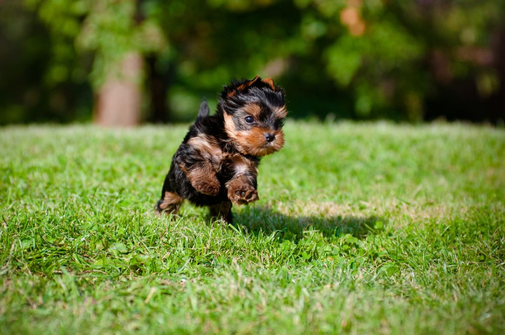 Yorkshire Terrier Futter