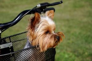 Yorkshire Terrier Hunde Fahrradkorb