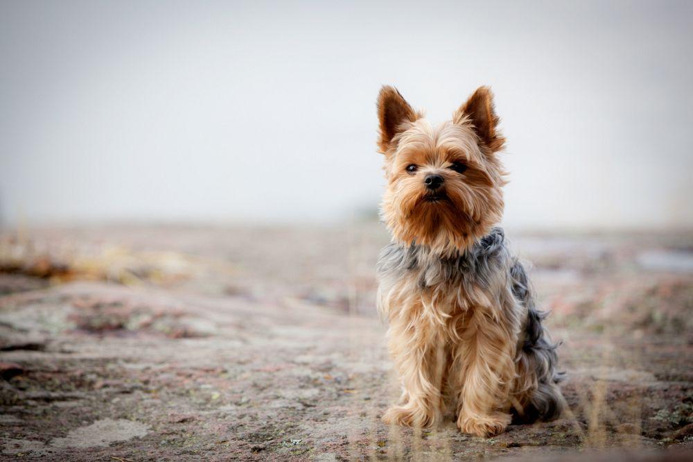 Yorkshire Terrier Hunderassen reinrassig