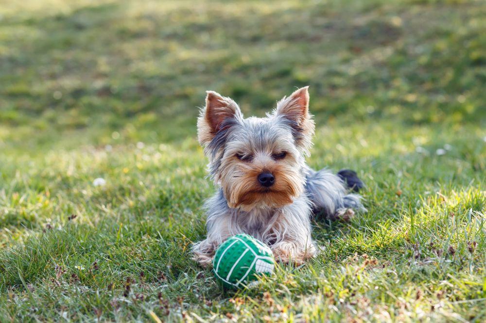 Yorkshire Terrier Hunderassen