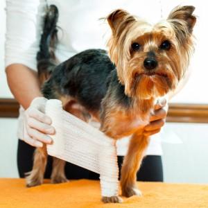 Yorkshire Terrier Krankheiten