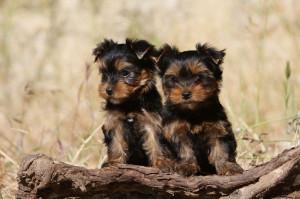 Unterschied Yorkshire Terrier Rüde und Hündin
