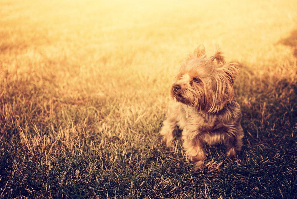 Yorkshire Terrier Tierheim