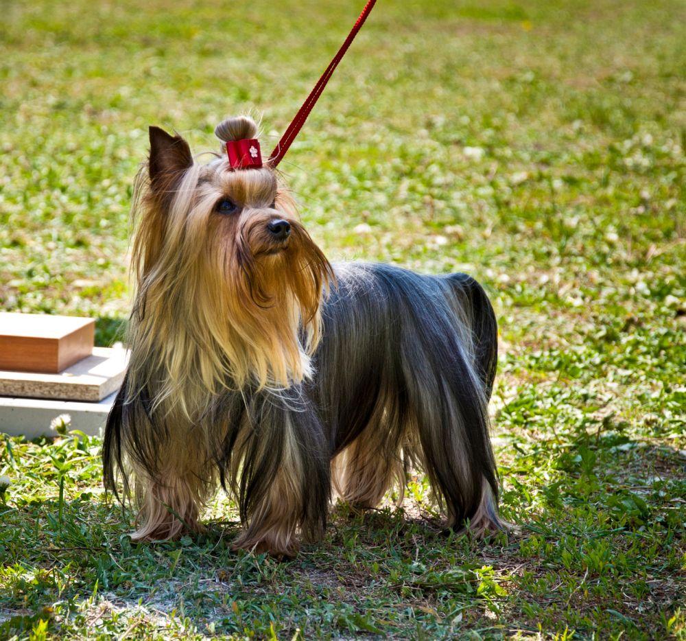 Yorkshire Terrier Vermittlung