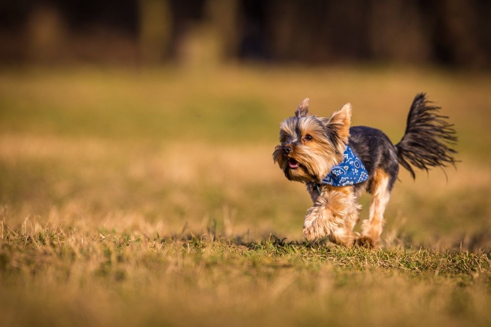 Yorkshire Terrier Zecken Wald Gefahr
