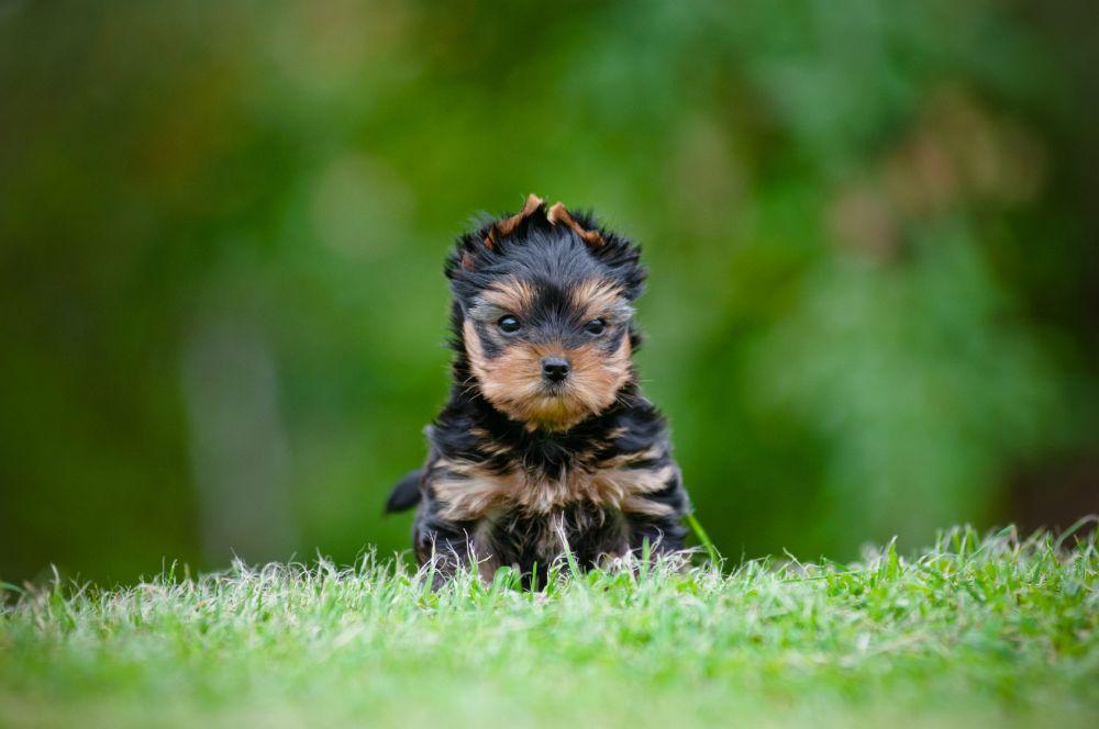 Yorkshire Terrier Züchter