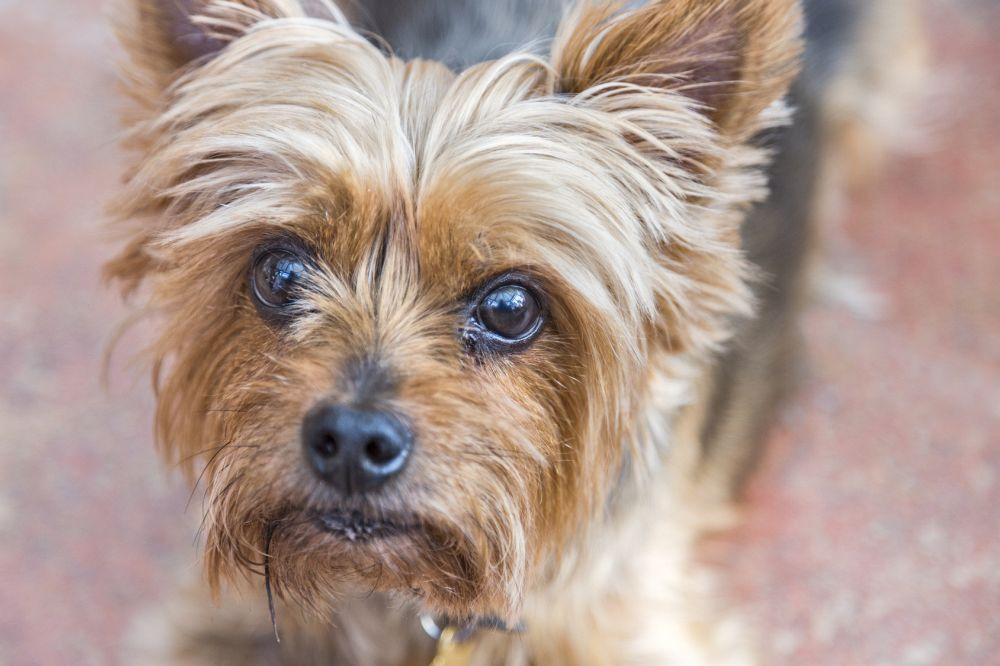 Yorkshire Terrier aus Tierheim