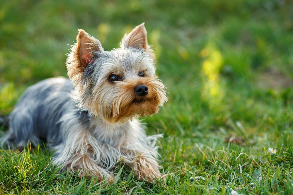 Yorkshire Terrier zu verschenken