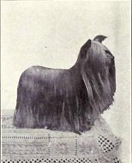 Aufnahme eines Yorkshire Terriers um 1915