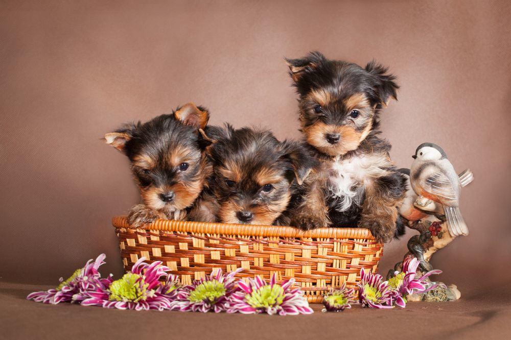 Drei Yorkshire Terrier Welpen