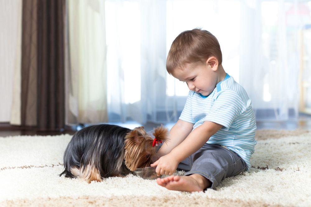 Yorkshire Terrier bekommt sein Futter