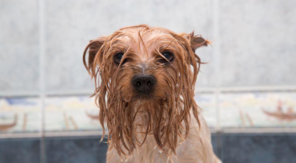 Yorkshire Terrier baden