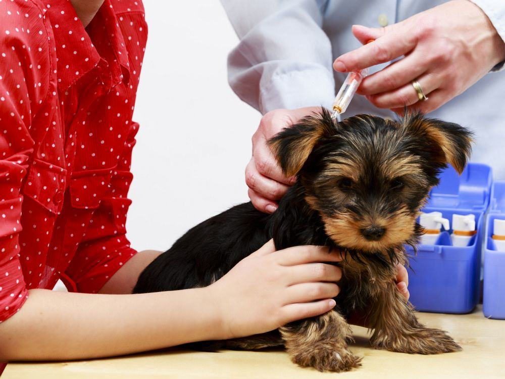 Yorkshire Terrier Welpen impfen
