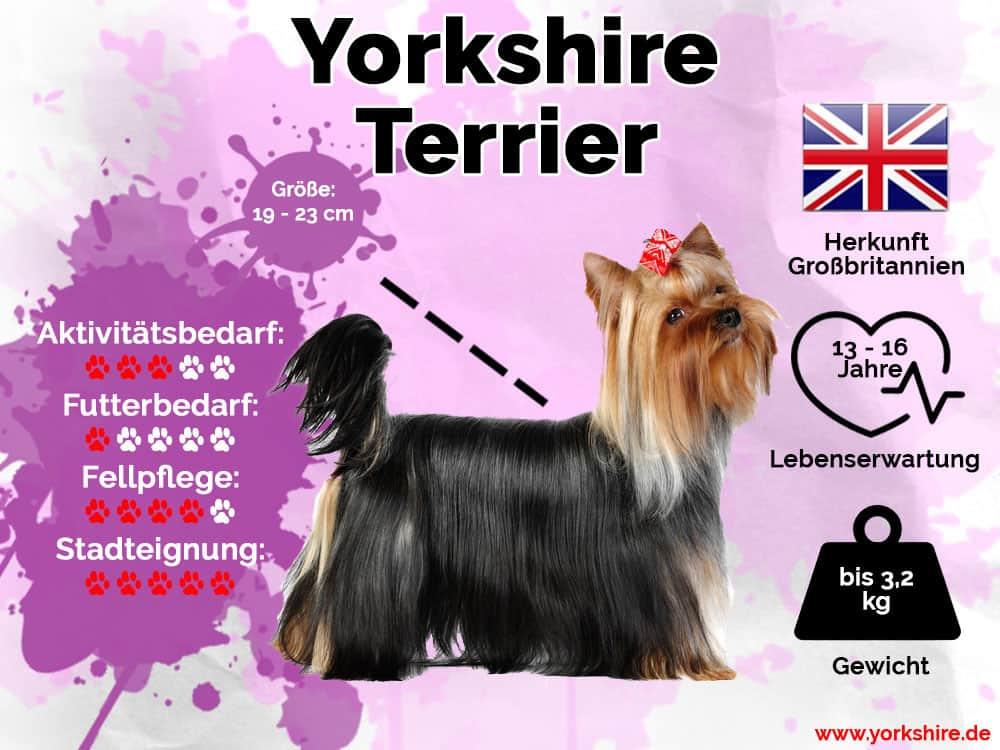 Yorkshire Terrier Infografik