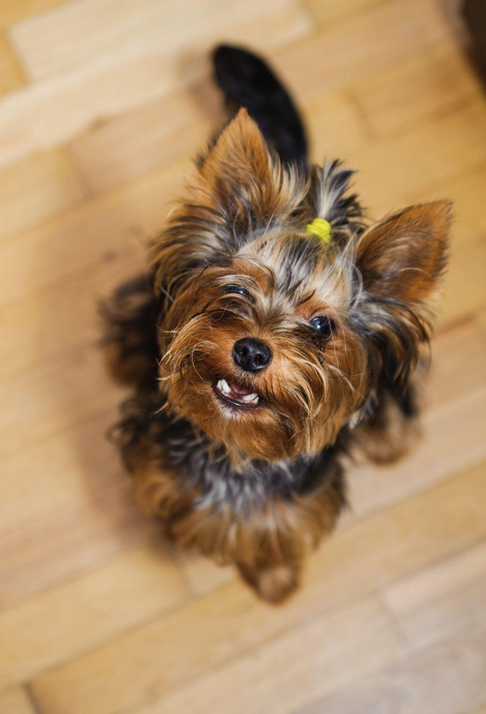 yorkshire terrier kaufen