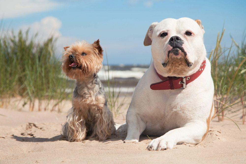 Yorkshire Terrier mit englischer Bulldogge am Strand.