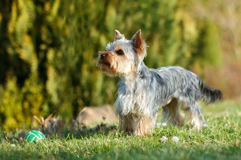 Yorkshire Terrier mit kurzen Haaren