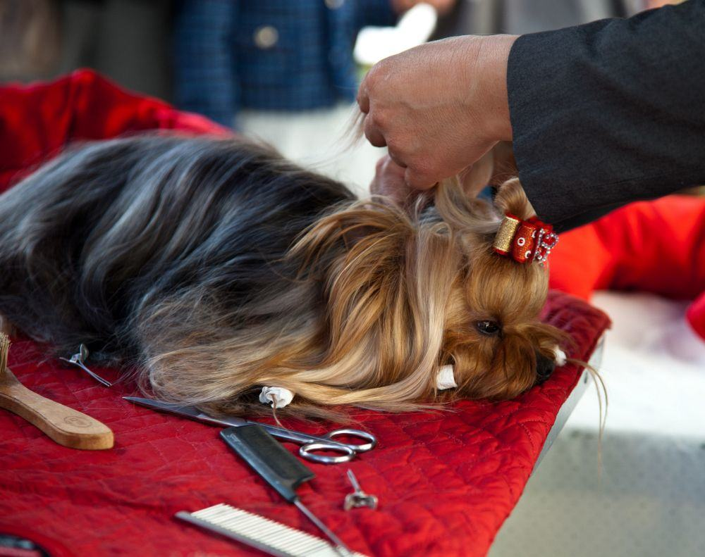 Yorkshire Terrier Pflege
