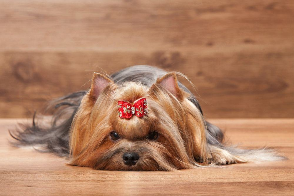 Yorkshire Terrier Schleife