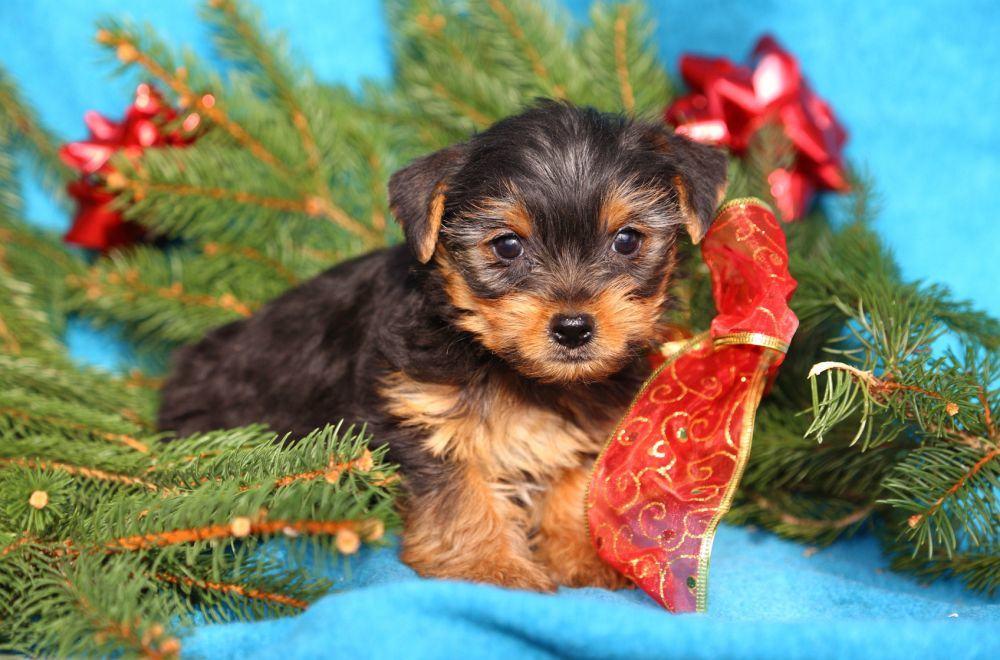 Yorkshire Terrier als Weihnachtsgeschenk