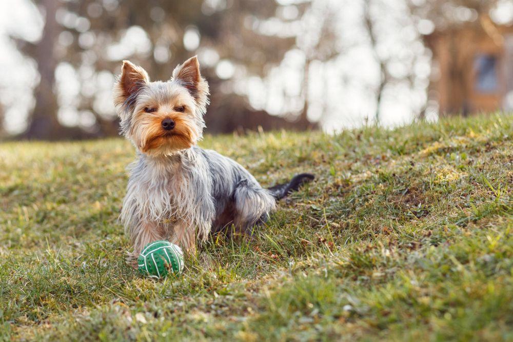 Yorkshire Terrier Beschäftigung