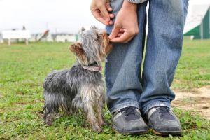 Yorkshire Terrier Belohnung-Beschäftigen
