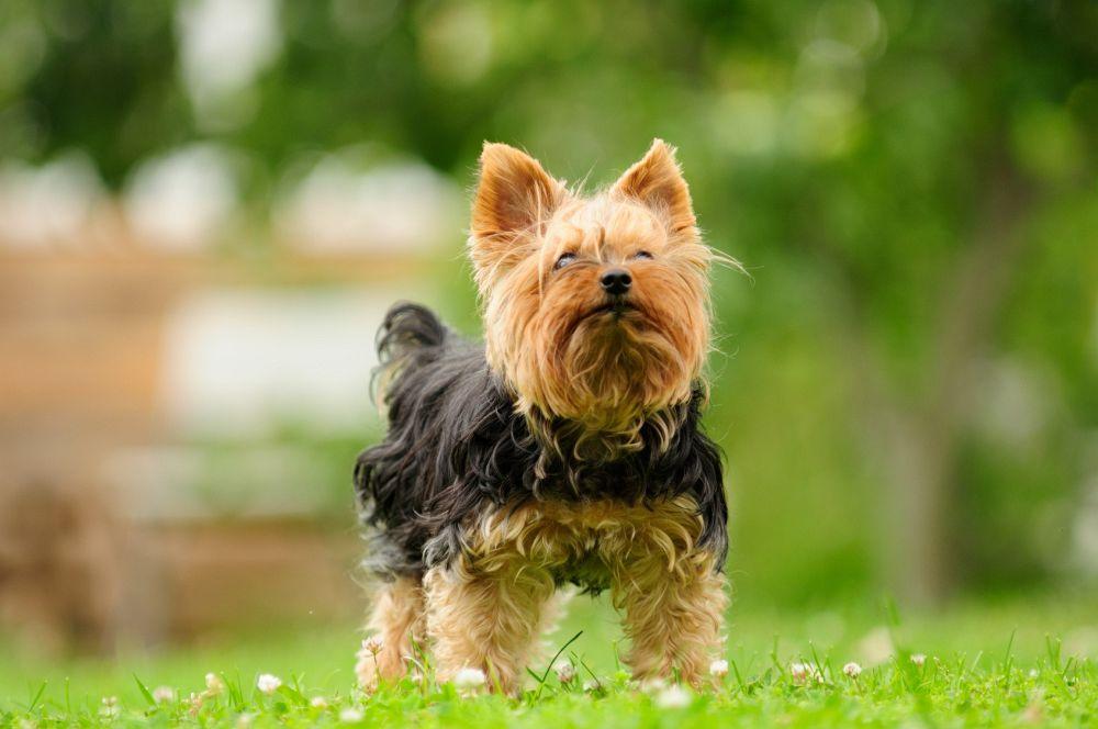 Yorkshire Terrier beschäftigen