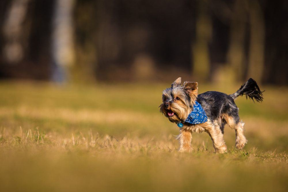 Wie beschäftigen Sie Ihren Yorkshire Terrier?