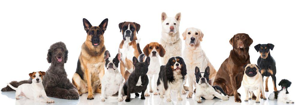 Lebensdauer des Yorkshire Terriers im Vergleich mit anderen Hunderassen
