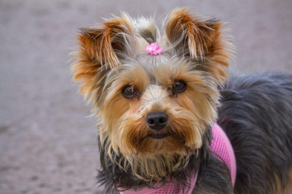 Wie hoch ist die Lebenserwartung eines Yorkshire Terriers?