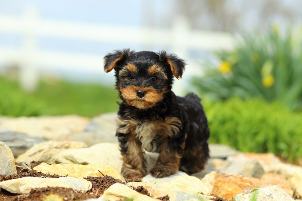 Lange Yorkshire Terrier Lebenserwartung