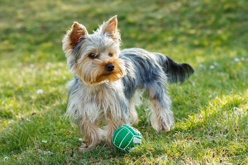 Lebenserwartung Yorkshire Terrier durch Bewegung erhöhen
