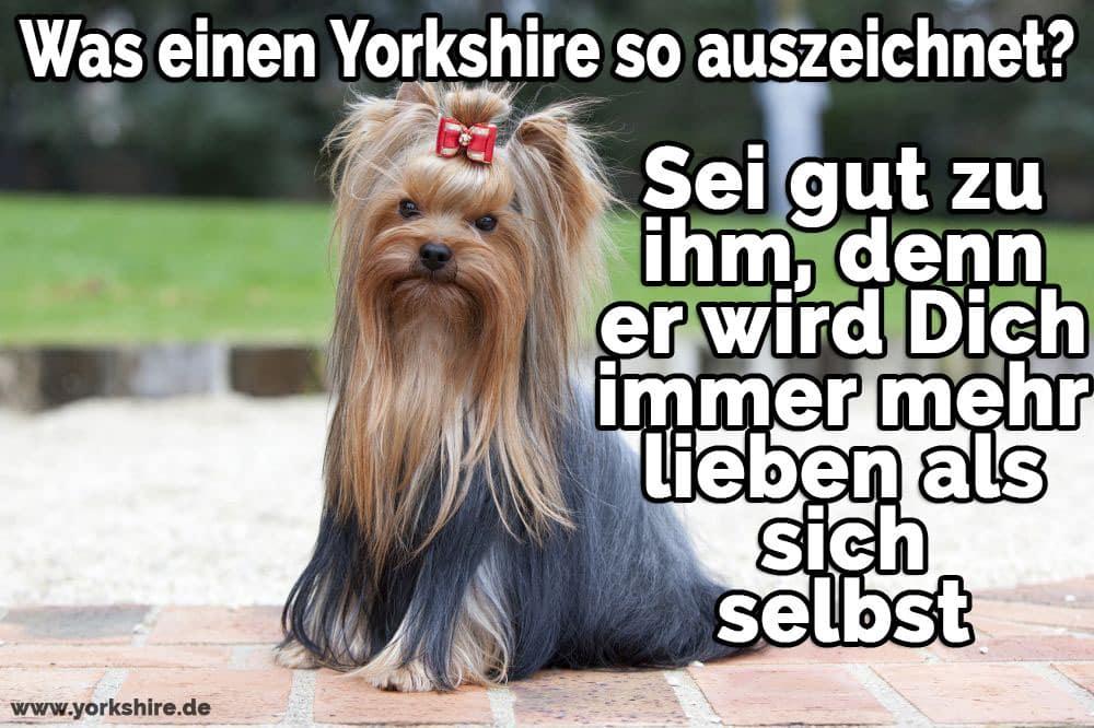 Yorkshire Terrier sitzt auf dem Boden