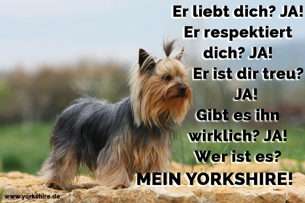 Yorkshire Terrier verloren