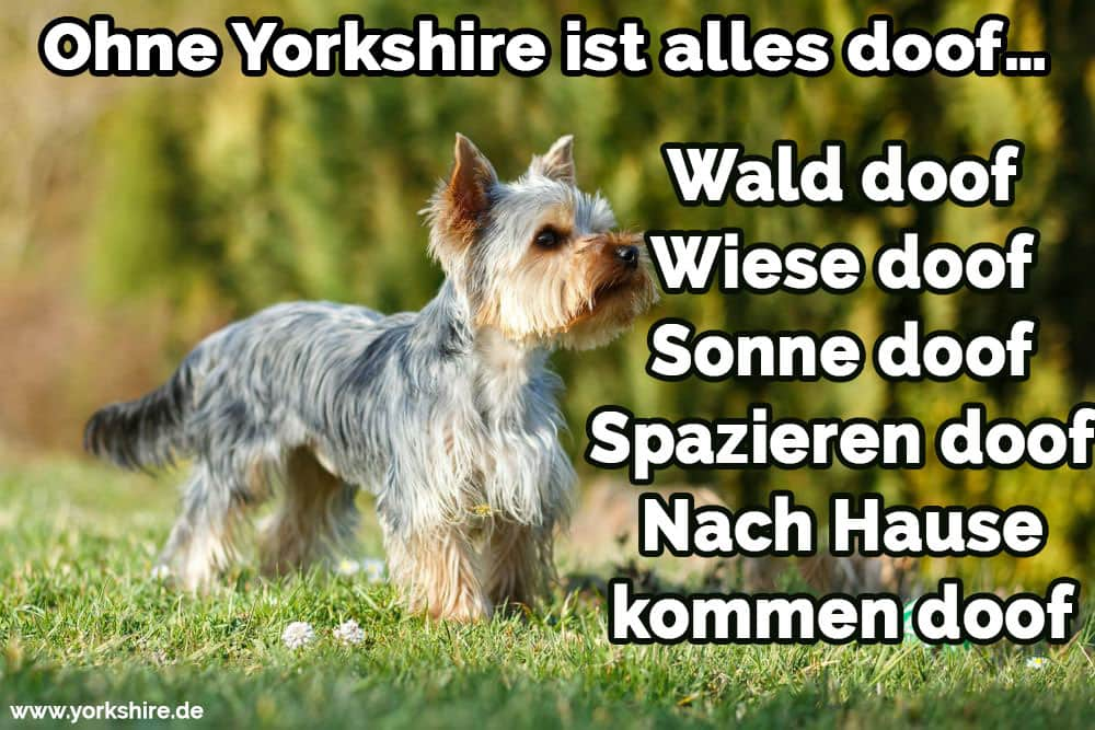Yorkshire Terrier läuft in den Park