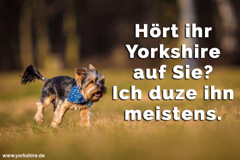 Yorkshire rennt im Gras