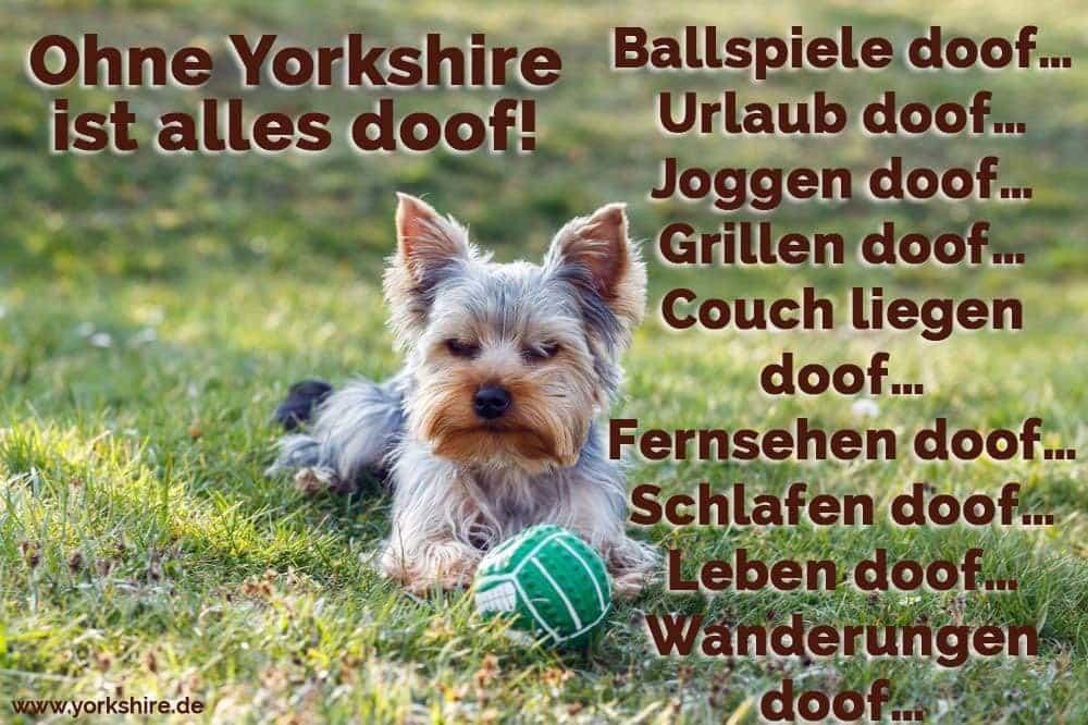 Yorkshire auf dem Boden mit eine Ball