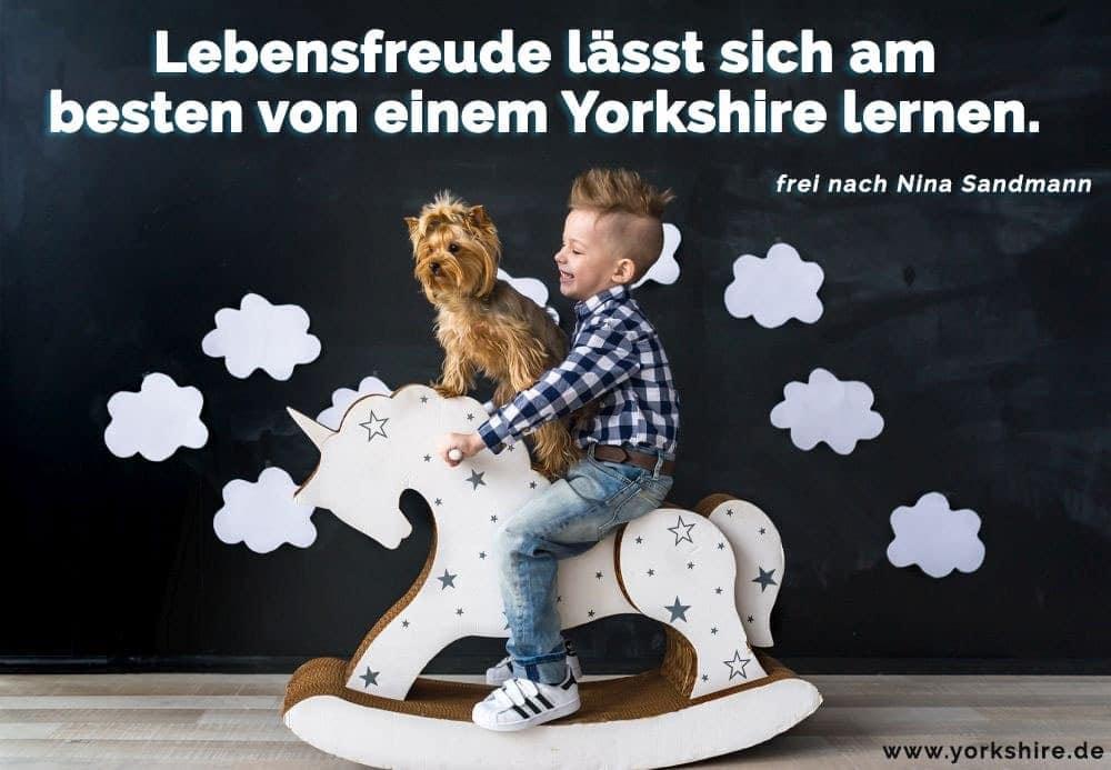Der Junge spielt mit seinen Yorkshire