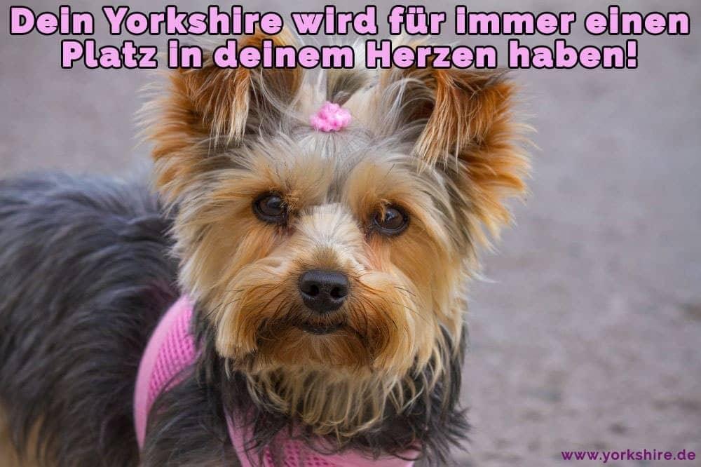 Süße Welpen Yorkshire