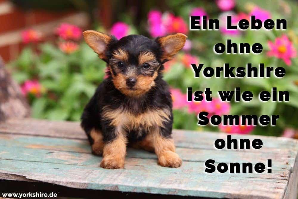Yorkshire Terrier mit Blumen