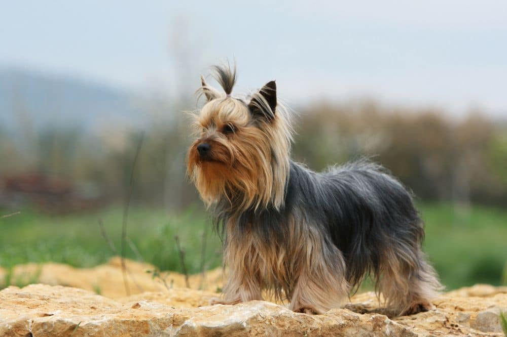 Hunderasse Yorkshire Terrier
