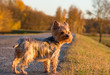 Small yorkshire terrier walking on the road in the sunset