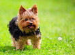 Cute Yorkshire Terrier Dog Playing in the Yard